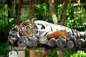 Lazy tiger — Stock fotografie