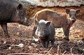Baby wild boar — Stock Photo