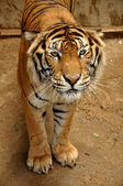 Indochinese tiger — Stock Photo