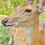 Japanese deer — Stock Photo #46452179