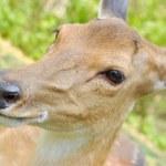 Sika deer — Stock Photo #46452269