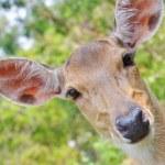 Japanese deer — Stock Photo #46452485