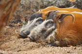 Red river hog — Stock Photo