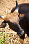 Gaur — Stock Photo