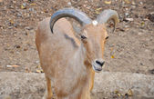 Barbary sheep — Foto Stock