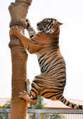 Tiger trainning — Stock Photo