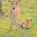 Sika deer family — Stock Photo #47691609