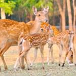 Sika deer family — Stock Photo #47694383