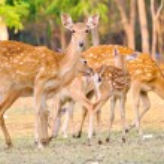 Sika deer family — Stock Photo #47694469