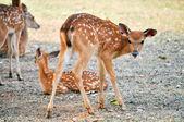 Sika deer cub — Stockfoto