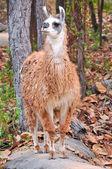 Llama — Stock Photo
