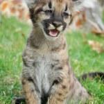 Постер, плакат: Baby Puma
