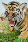 Baby bengal tiger — Stock Photo