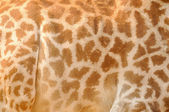 Giraffes background — Stock Photo