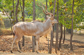 Greater kudu — Foto Stock