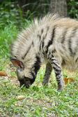 Hyène rayée — Photo