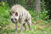 Striped hyena — Foto de Stock