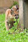 Baby Puma — Stock Photo