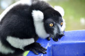 Black and white ruffed lemur — Stockfoto