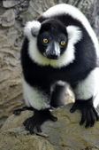 Black and white lemur — 图库照片