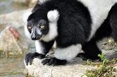 Black and white ruffed lemur — 图库照片