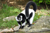 Black and white ruffed lemur — Stock fotografie