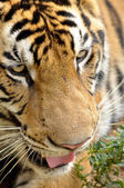 Faces of the Bengal tiger — Stock Photo