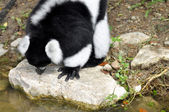Black and white ruffed lemur — Foto de Stock