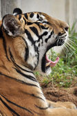 Tiger yawn — Stock Photo