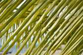 Green palm's leavs — Stock Photo