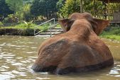 Olifant in water — Stockfoto