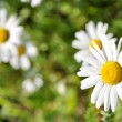 Stock Photo: Green flowering meadow with white daisies
