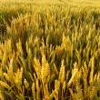 A field of golden wheat — Photo