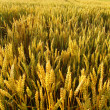 A field of golden wheat — Stock Photo