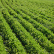 Green lines in a field — Stock Photo