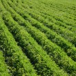 Stock Photo: Green lines in field