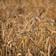 Wheat Field — Stock Photo #29699147