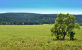 Lonely Tree in a Yellow Field Poland — Stock Photo