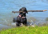 Funny labrador — Stock Photo