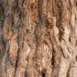 Bark of the Nine Dragon Juniper (Juniperus Chinensis) — Stock Photo