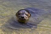 Common seal (Phoca vitulina) — Stock Photo