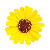 Yellow flower, Black-eyed susan (Rudbeckia hirta) — Stock Photo