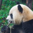 Giant panda eating bamboo shoots — Stock Photo