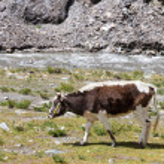 Cow grazing on the Tibetan plateau near a river — Stock Photo