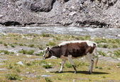 Cow grazing on the Tibetan plateau near a river — Stock Photo