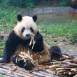 Giant pandeating next to pile of fresh bamboo — Stock Photo #38915685