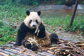 Giant panda eating next to a pile of fresh bamboo — Stock Photo