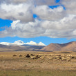 Sheep on Tibetan plateau with snowy peaks of the Himalayas in th — Stock Photo