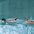 Pair of ducks in the pond - Stock Photo