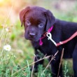 Labrador puppy — Stock Photo